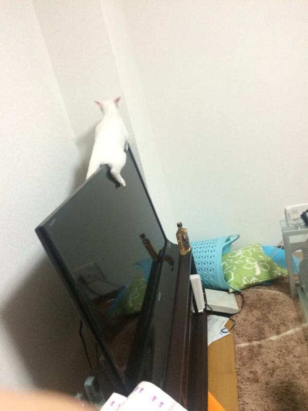chat affectueux avec un téléviseur